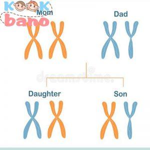 نقش کروموزوم در تعیین جنسیت جنیست کودک چگونه است؟